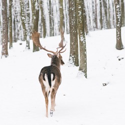 A male of fallow deer with grate antlers standing on the snow in a winter forest