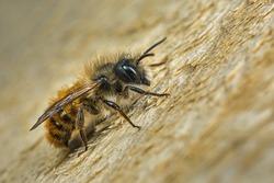 A male Osmia bicornis (Osmia rufa) Mason bee.