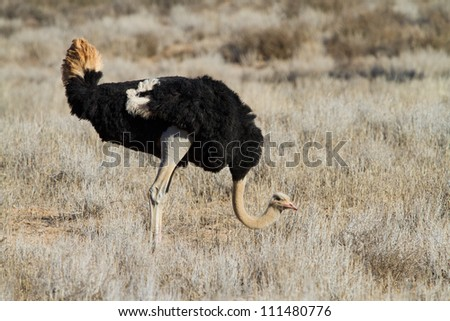A male ostrich bends down to search for food