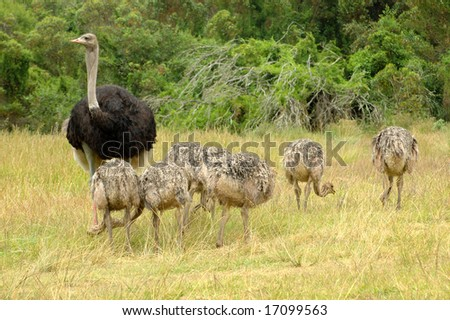 A male ostrich with his little chicks grazing in a game reserve in South Africa