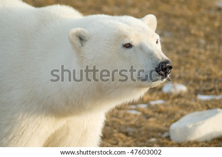 A male polar bear gazes across tundra as he waits for winter to bring seals to the shore.