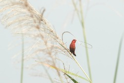 A male Red Avadavat collecting nesting materials