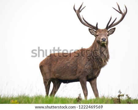 A male red deer, stag (Cervus elaphus) at Lyme Park in Disley, Cheshire showing its antlers at the end of the rutting season. #1222469569