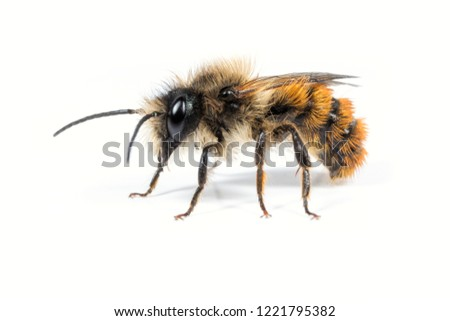 A male Red Mason Bee - Osmia bicornis - on a white background.