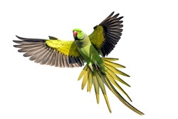 A male rose ringed parakeet in flight