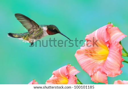 A male Ruby- throated Hummingbird (Archilochus colubris) at coral- colored daylilies.
