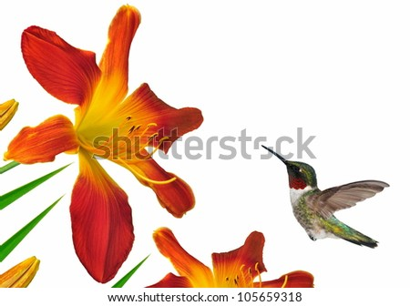 A male Ruby- throated Hummingbird (Archilochus colubris) at Open Hearth daylilies isolated on a white background.