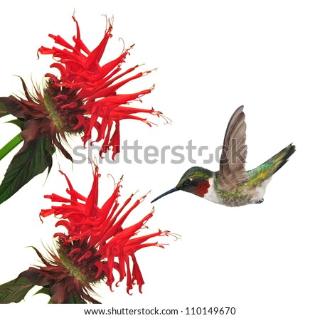 A male Ruby- throated Hummingbird (Archilochus colubris) at red bee balm isolated on a white background.