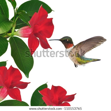 A male Ruby- throated Hummingbird at mandevilla flowers isolated on a white background.