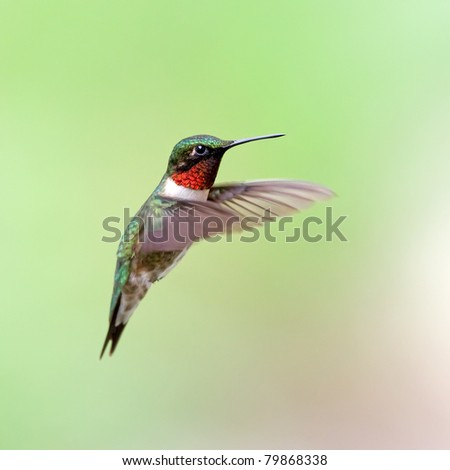 A male Ruby-throated Hummingbird hovering with a green background.