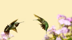 A male ruby throated hummingbird (juvenile)  (archilochus colubris) and an adult male in motion, fighting over territory.