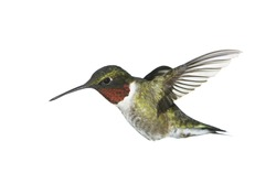 A male ruby-throated hummingbird on white.