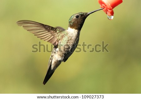 A male Ruby Throated keeping  cool and refreshed during this heat wave and drough in Missouri. - stock photo