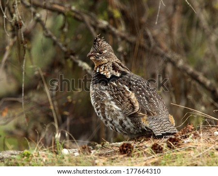 A male ruffed grouse pauses between drumming displays and looks for a potential mate. #177664310