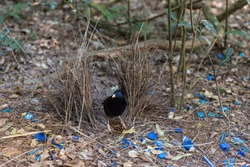 A male satin bowerbird, ptilonorhynchus violaceus, tends his bower which he has decorated with blue coloured objects. In Lamington National Park, Queensland, Australia.