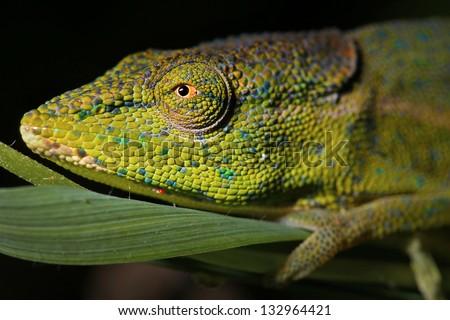 A male Side-striped or Perinet Chameleon (Calumma gastrotaenia) in the Ranomafana rain forest of Madagascar at night.