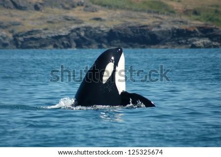A male Southern Resident Killer Whale spyhops near San Juan Island, Washington.