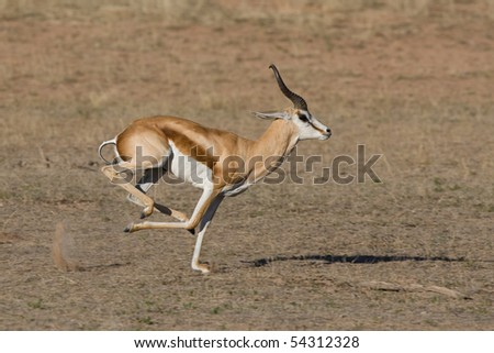 A male springbok running in a dry riverbed in the kalahari desert