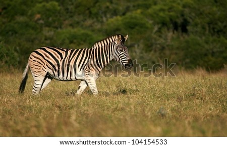 A male stallion burchells Zebra walking through a field of grass in this side on low angle lanscape image.Taken while on safari in Addo elephant national park,eastern cape,south africa
