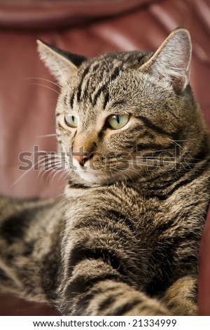 A male tabby cat laying on a leather chair.  Shallow DOF.