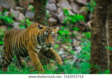 A male tiger cub in monsoon season at ranthambore national park #1162055716