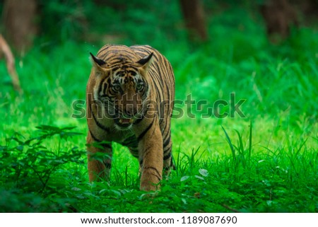 A male tiger cub sighted in monsoon when forest is like green carpet at Ranthambore Tiger Reserve #1189087690