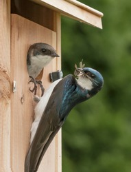 A male tree swallow is about to feed a chick at its nest ing box. Air born insects can be viewed in the male's mouth