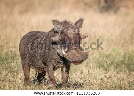 A male Warthog in African landscape and scenery