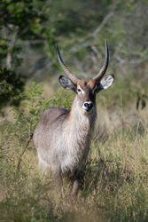 A Male Waterbuck seen on a safari in South Africa