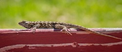 A male Western Fence Lizard (Sceloporus occidentalis) suns itself on a top of fence in Monterey, California.  It is commonly known as the