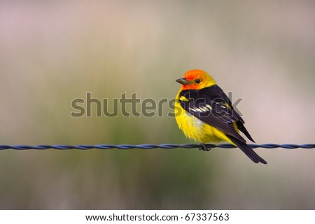 A male Western Tanager perched on a wire fence in summer, Montana.
