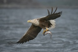 A male White-tailed eagle carrying a very large Coalfish which he has just caught.