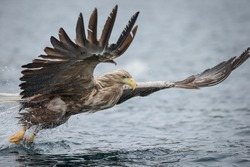 A male White-tailed Eagle has failed to connect with its intended prey, and begins to power itself away from the cold waters of the Norwegian Sea.