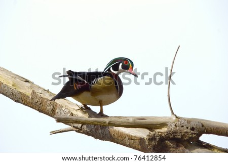 A male Wood Duck sits on a branch of a tree carefully observing its surroundings.