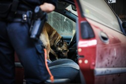 A malinois searching after drugs. Norwegian police.