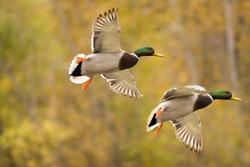 A mallard duck in sequence