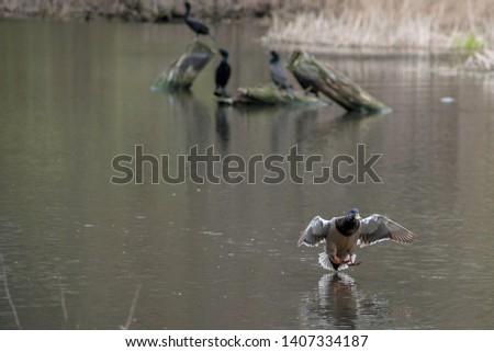 A mallard duck landing in the water #1407334187