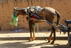 A malnourished and injured cart horse stands in a street of Morocco, North Africa, still loaded with packs and harnessed to the shafts of a cart while eating from a feedbag.