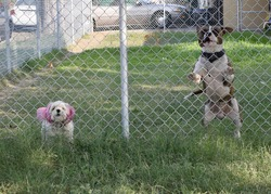 A maltese and staffordshire bull terrier jumping up in a garden behind the fence