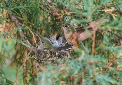 A Mama hummingbird comes in to feed her baby hummingbirds who are excitedly awaiting their next meal in their small nest within a Juniper tree.