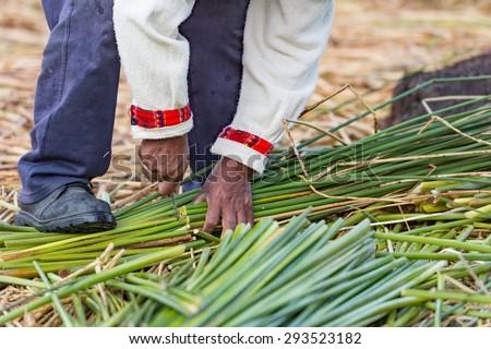 A Man cutting Tora Tora weed for making floating Uros island, Lake Titicaca, Peru #293523182