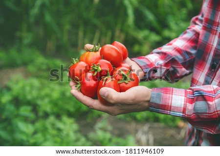 A man farmer holds a crop of tomatoes in his hands. Selective focus. nature. Stockfoto ©