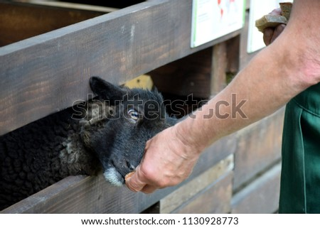 A man feeds a black sheep with bread. #1130928773