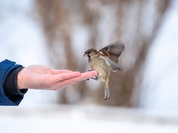 A man feeds sparrows from his hand. Sparrows take turns eating seeds from a human hand in winter. Taking care of animals.