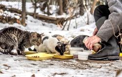 A man feeds stray cats