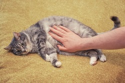 A man hand strokes a cat on a sore stomach. Yellow bed in room, copy space