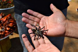 A man holds a large tarantula spider in his hands.