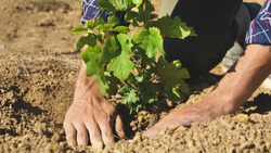 A man in a vineyard planting vine plants, and planted the earth around to make them grow healthy and prepare for wine production. Concept of: nature, wine, bio, agriculture.