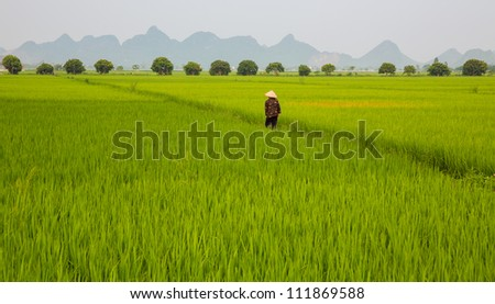 a Man in Rice plantation in vietnam