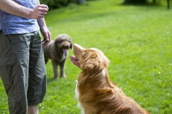A man is teaching and training a dog outdoor in the park. Another dog is watching close by. The dog breed is nova scotia duck tolling retriever also known as a toller.